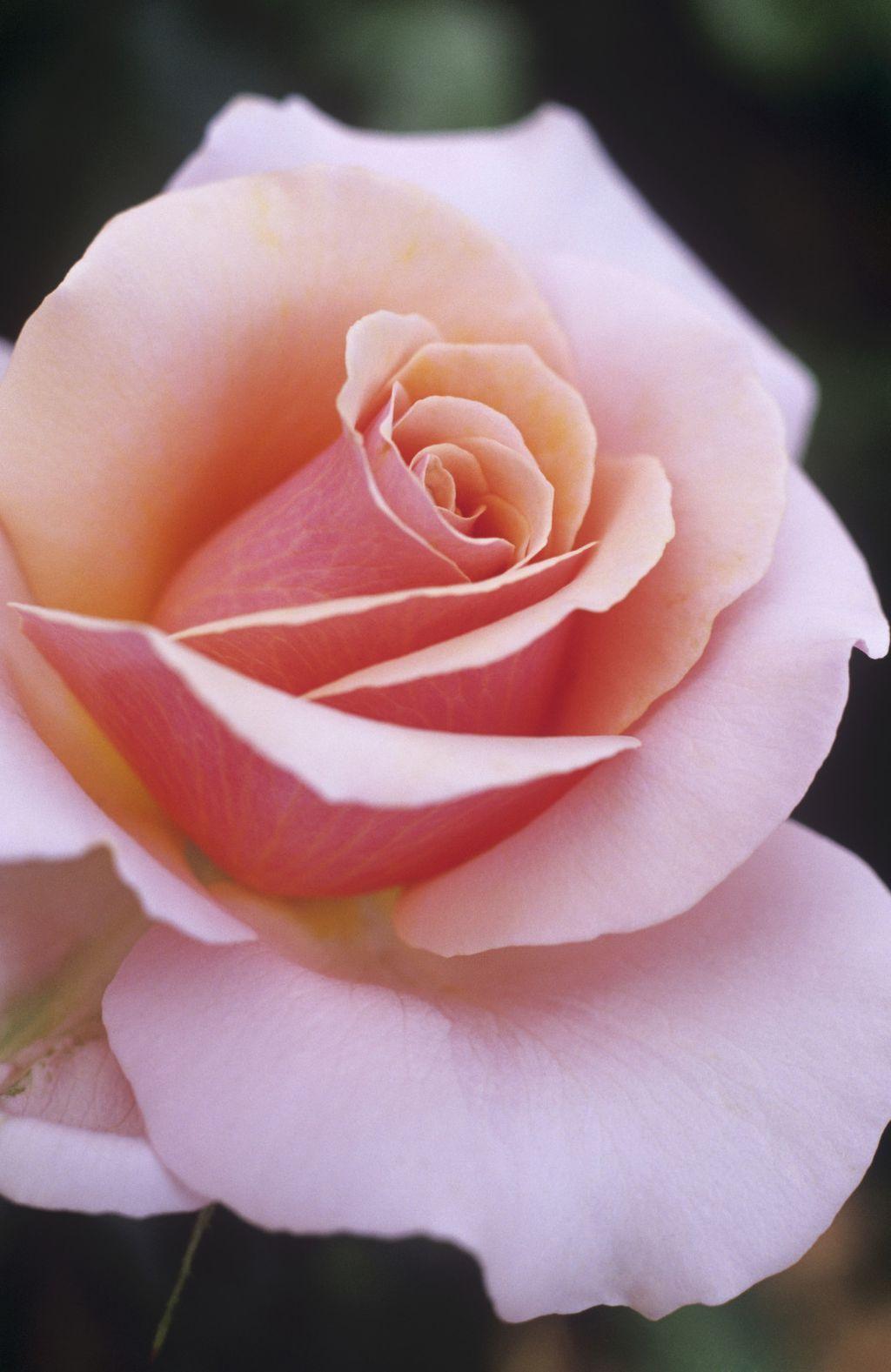 Ruža čajevka - 3