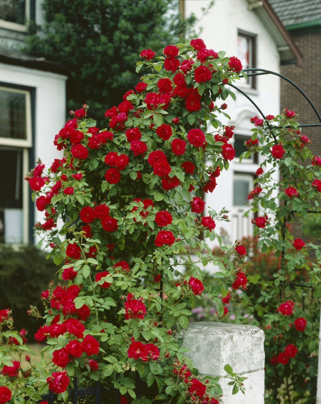Ruže penjačice - 2