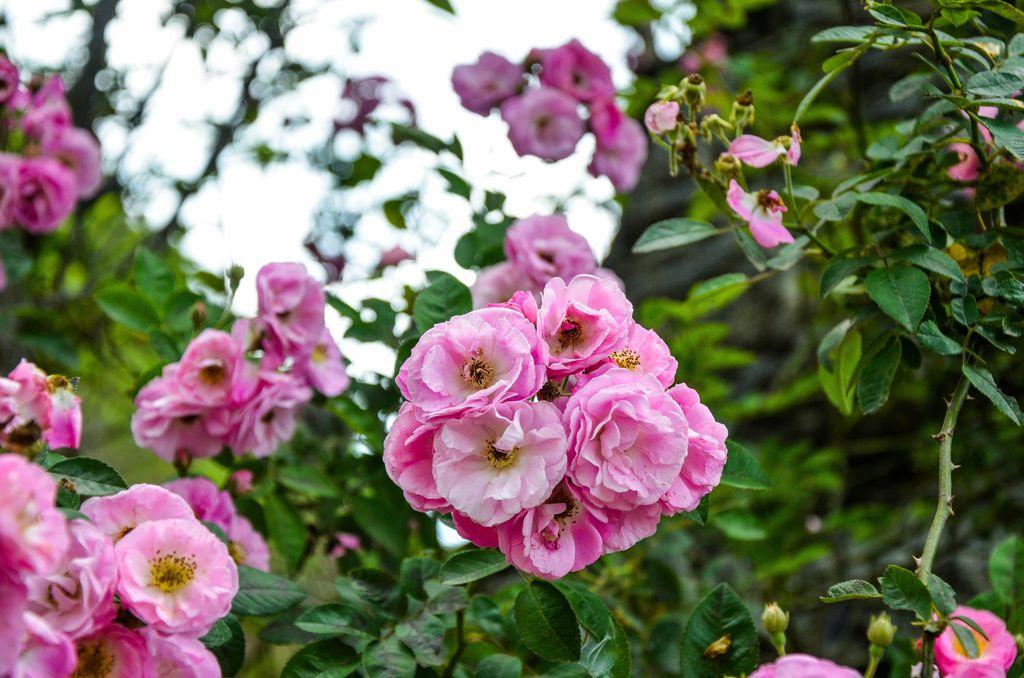 Poliante ruže - 2
