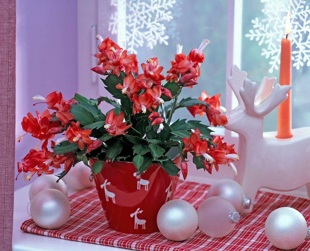 Tijekom blagdana božićni kaktus pokazuje sve svoje bogatstvo