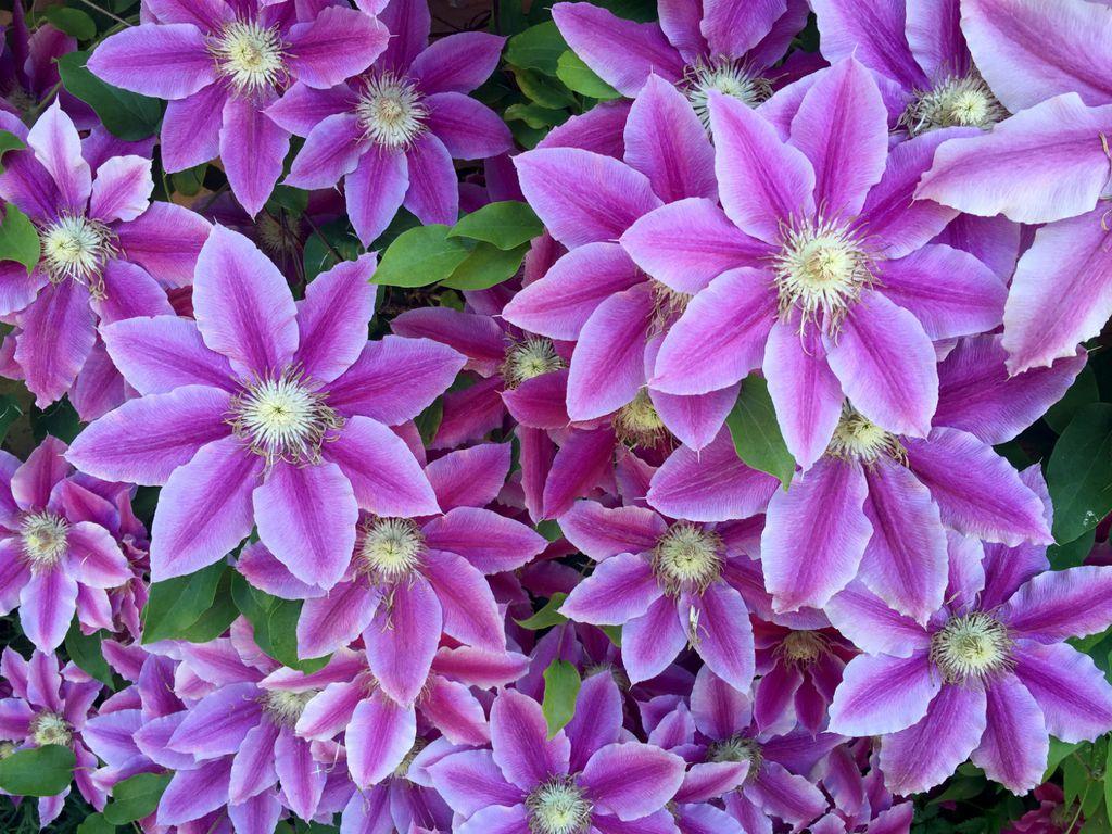 Cvijet clematis dobio je ime po vojvotkinji