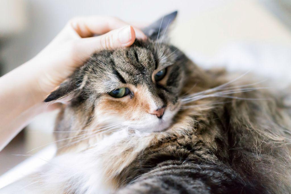 \'Maine coon\' najveća je pasmina mačke - 2
