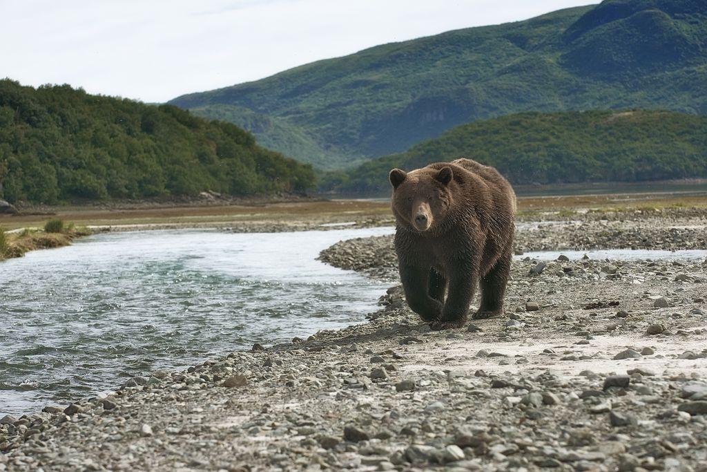 Smeđi medvjed u potrazi za lososom