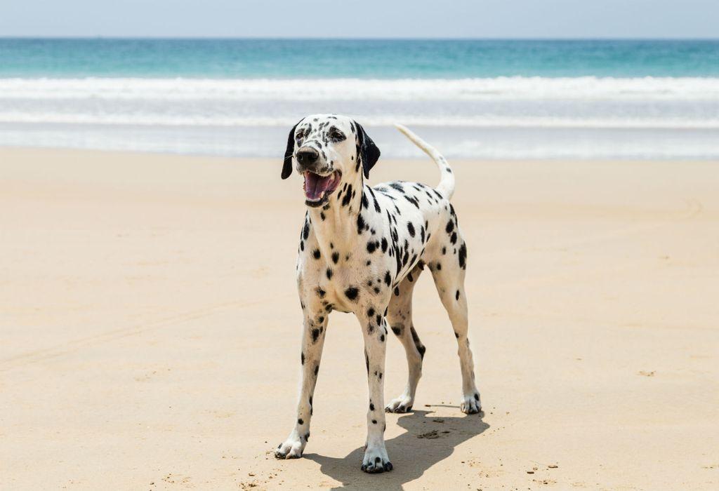 Dalmatineri su snažni psi atletske građe, a poznati su i po dobrom zdravlju