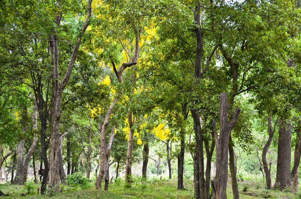 Sandalovina iz Mysorea