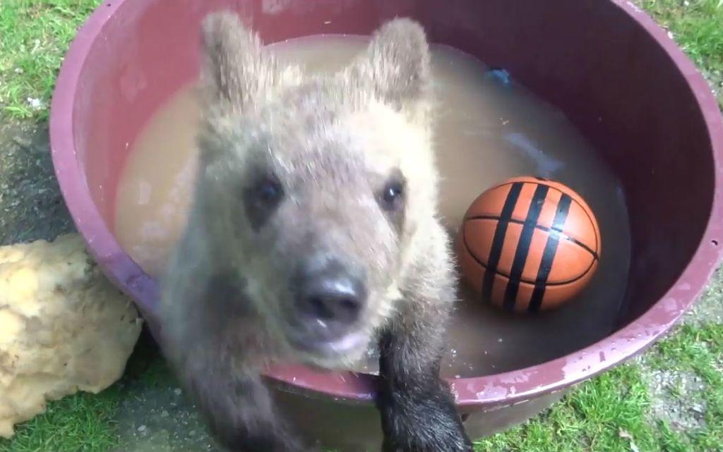 Medvjedić Matija u oporavilištu ZOO vrta u Zagrebu izrasta u velikog gurmana, a tople dane krati kupanjem u bazenčiću - 1