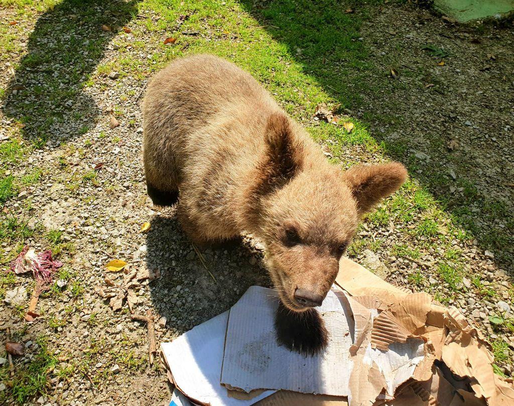 Medvjedić Matija u oporavilištu ZOO vrta u Zagrebu izrasta u velikog gurmana, a tople dane krati kupanjem u bazenčiću - 2