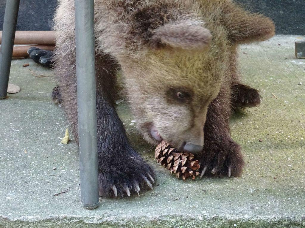 Medvjedić Matija u oporavilištu ZOO vrta u Zagrebu izrasta u velikog gurmana, a tople dane krati kupanjem u bazenčiću - 4