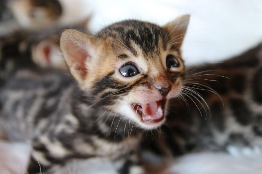 Bengalska mačka zbog svojeg točkastog krzna podsjeća na leoparda - 4