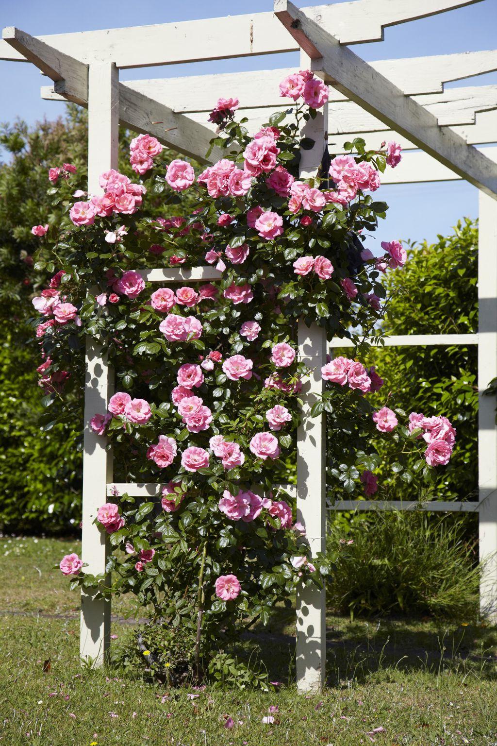 Ruže penjačice