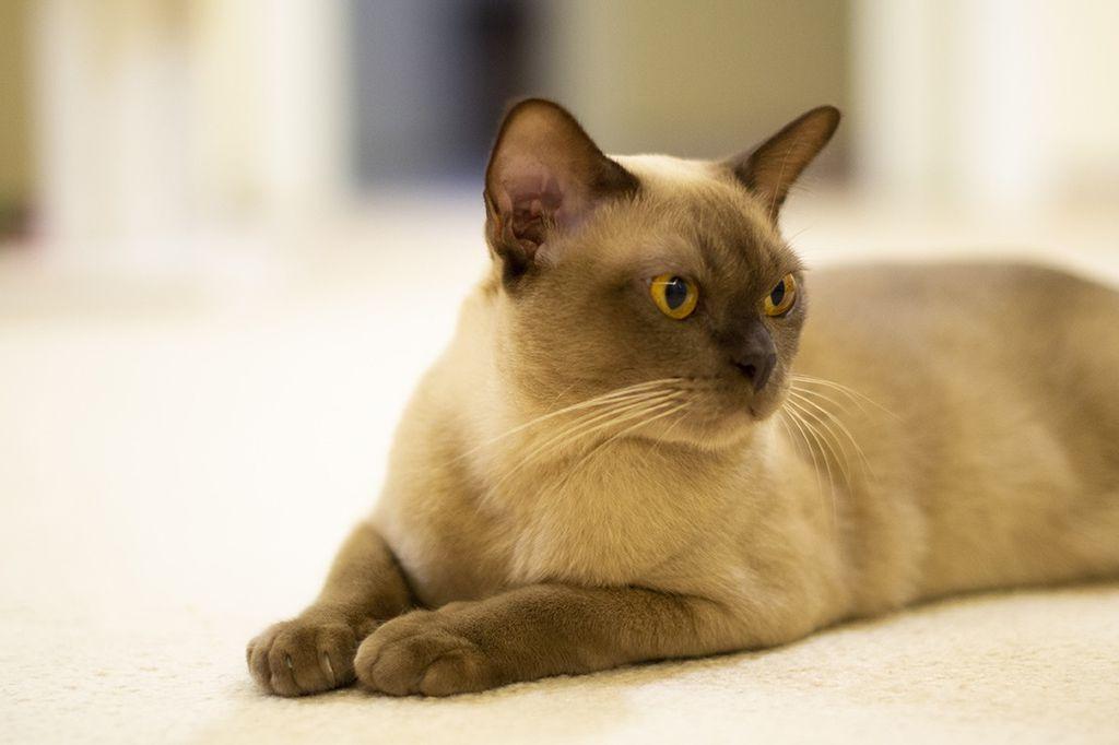 Burmanska mačka - 1