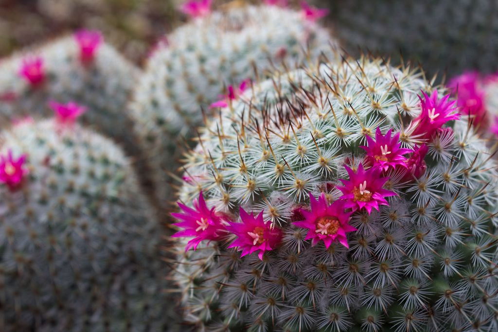 Kaktus s cvijetom
