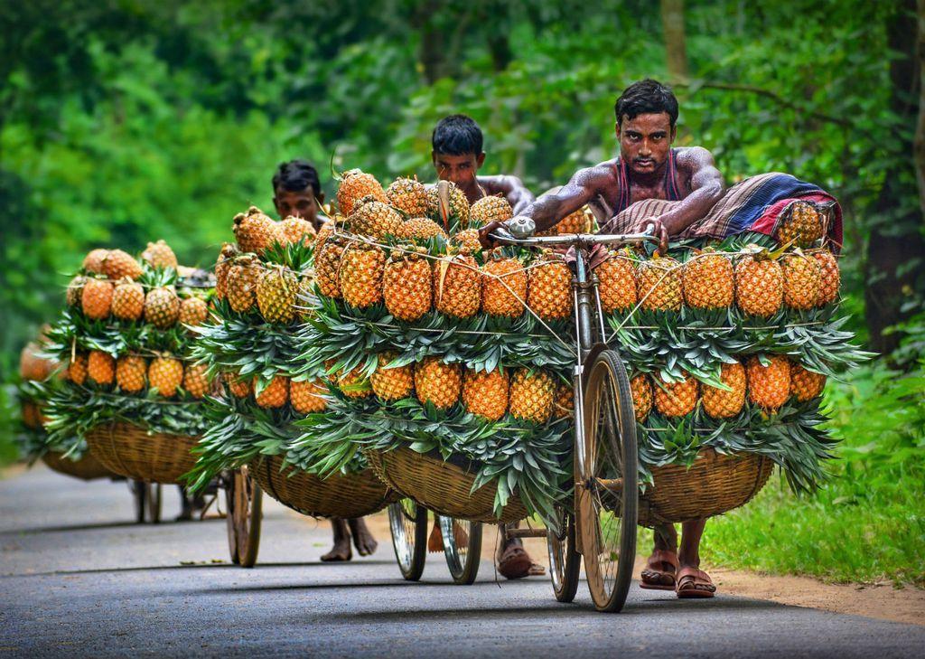 Biciklima se ananas prenosi na tržnice
