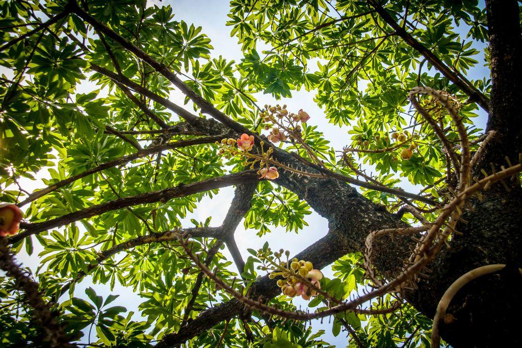 Drvo brazilskog oraha