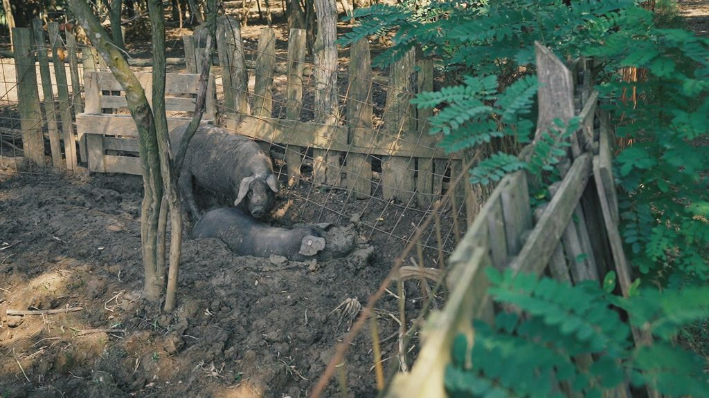 Ekološka farma crne slavonske svinje