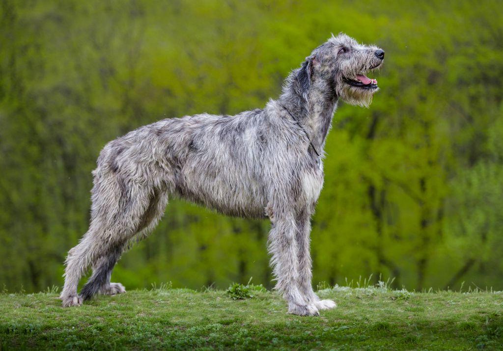 Irski vučji pas