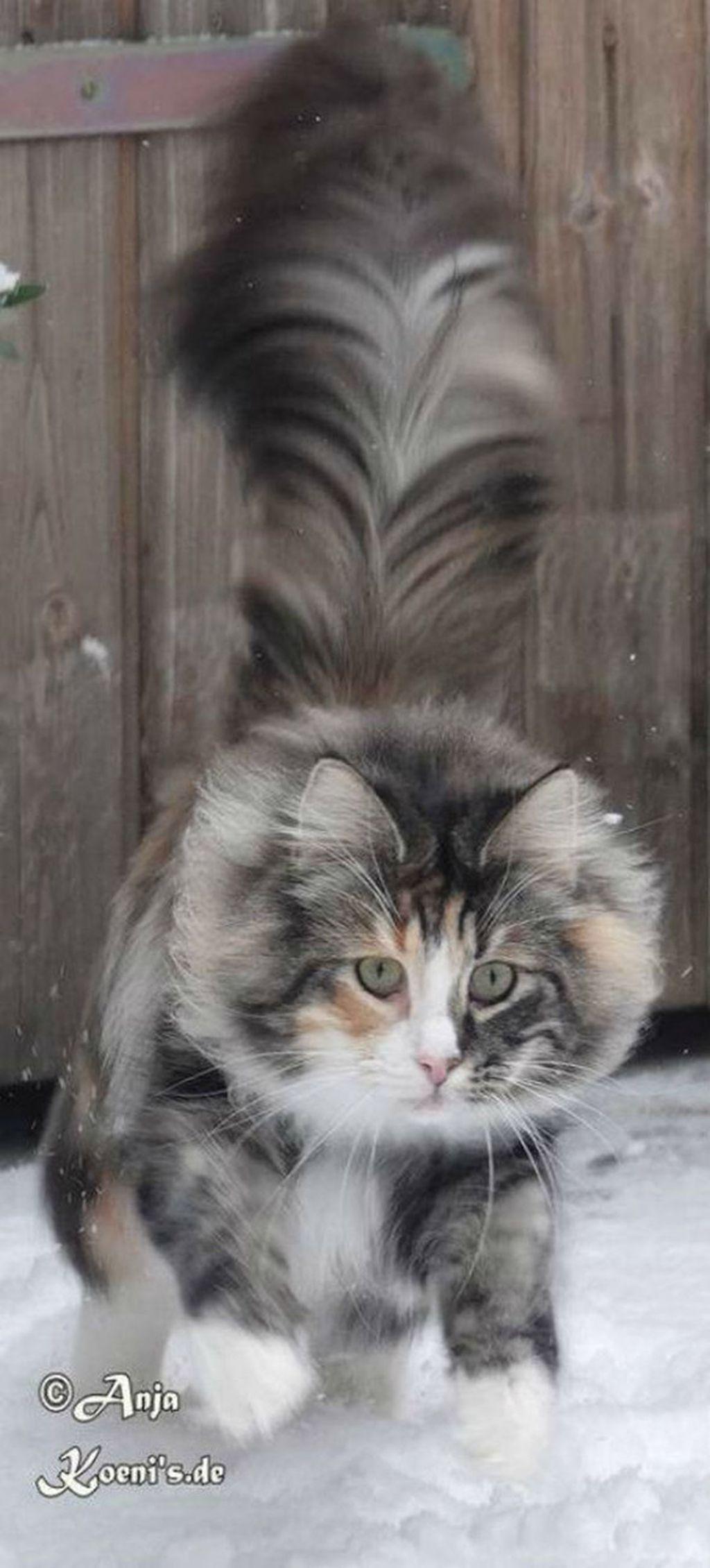 Norveška šumska mačka - 1