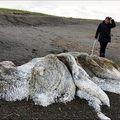 More izbacilo leš misteriozne nemani na istočnoj obali Rusije (Foto: English Russia)