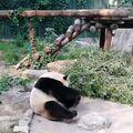 Panda Meng Da (Foto: Screenshot)
