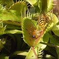 Osa i mesožderka (Foto: Screenshot/YouTube)