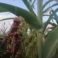 Najezda skakavaca u Etiopiji - 3