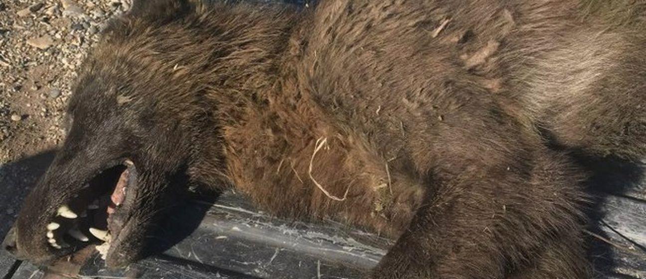 Misteriozna životinja nalik na vukodlaka ubijena u Montani (Foto: Montana fish, wildlife & parks)