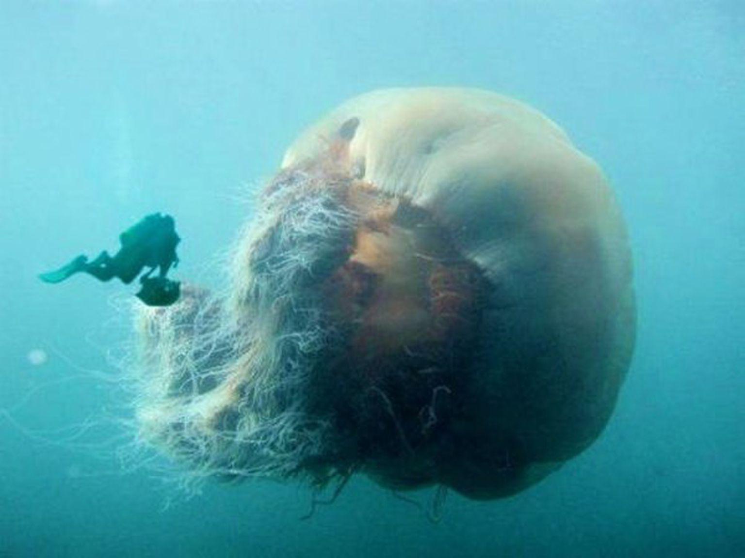 Honking Big Jellyfish