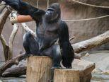 Ovaj gorila stvarno voli kameru, a i ona njega (Foto: Lucie Stepnickova)