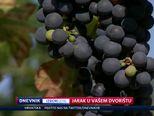 Andrija Jarak posjetio \'dolinu tartufa\' u Istri (Video: Dnevnik Nove TV)