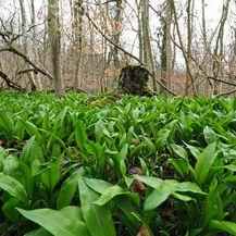 Divlji luk raste u listopadnim šumama