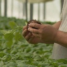 Uzgoj paprike - 1