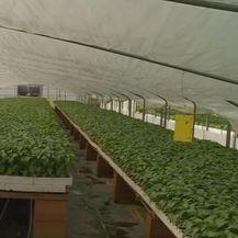 Uzgoj paprike - 2