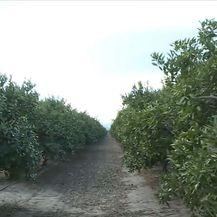 Polje Mandarina