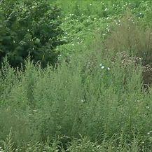 Cvjetanje ambrozije u punom jeku (Video: Dnevnik Nove TV)