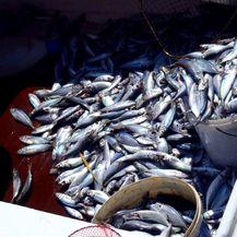 Bacili tisuće mrtvih riba u more (Foto: Dnevnik.hr) - 4