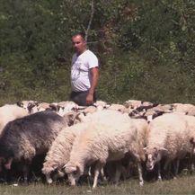 Stado ovaca (Foto: Dnevnik.hr) - 1