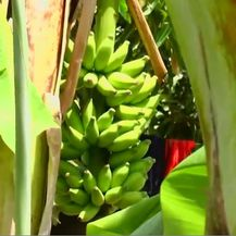 Banane (Foto: Dnevnik.hr)