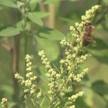 Opasnost od alergija (Foto: Dnevnik.hr)