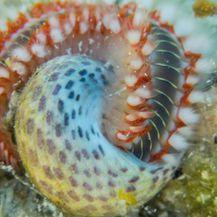 Vatrenom crvu odgovara toplije more (Foto: Dnevnik.hr)