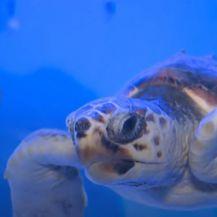 Izumiranje periski i morskih kornjača - 6