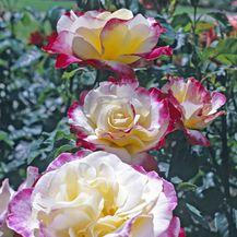 Ruža čajevka - 2