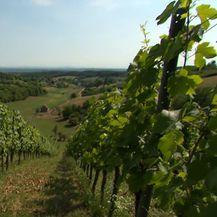 Vinograd, ilustracija