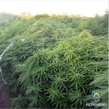 Plantaža marihuane