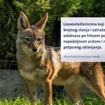 Čagljevi ugrozili paško ovčarstvo (Foto: Dnevnik.hr) - 2
