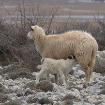 Čagljevi ugrozili paško ovčarstvo (Foto: Dnevnik.hr) - 5