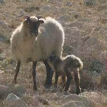 Ovce (Foto: Dnevnik.hr) - 2