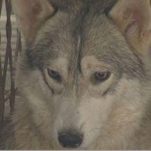 Pripitomljeni vukovi (Foto: Dnevnik.hr) - 2
