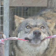 Pripitomljeni vukovi (Foto: Dnevnik.hr) - 4