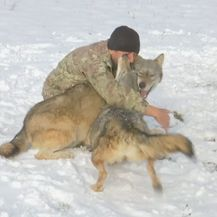 Pripitomljeni vukovi (Foto: Dnevnik.hr) - 5