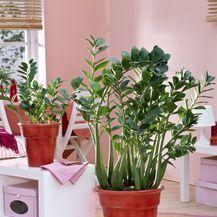 Zamija je biljka koju je dovoljno zalijevati jednom mjesečno